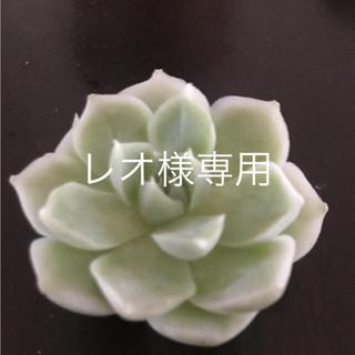 専用‼️多肉植物 7点 速達‼️(その他)