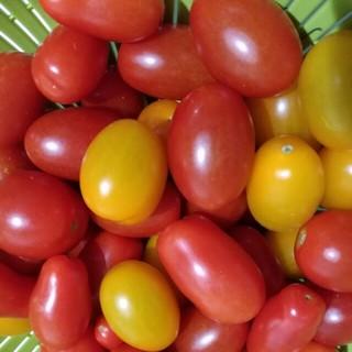 【朝採り】ミニトマト アイコ 無農薬(野菜)