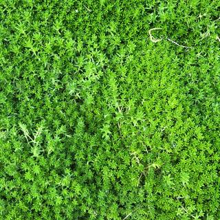 緑の絨毯♪多肉植物☆セダム☆抜き苗50g(その他)