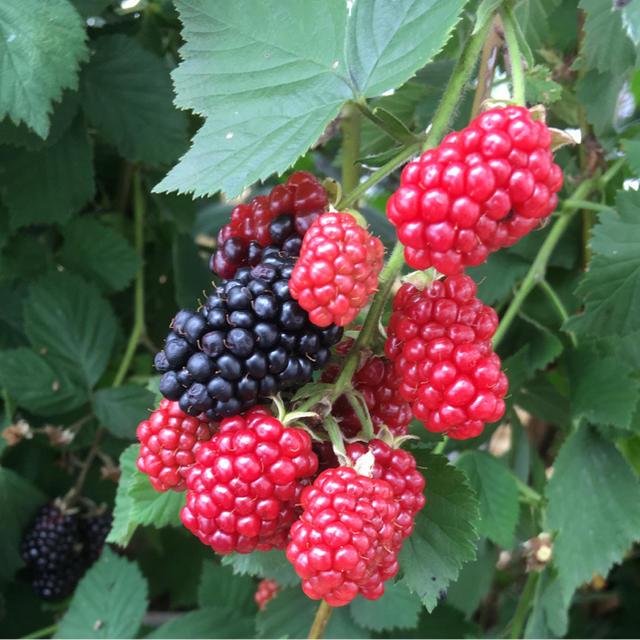 ブラックベリーの完熟種200個+気持ち! 食品/飲料/酒の食品(フルーツ)の商品写真