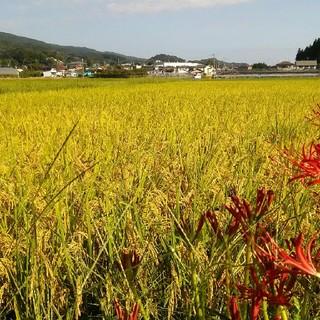 コメント用 完売 感謝 琴の香(米)平成29年産 長崎産 無農薬 無化学肥料 (米/穀物)