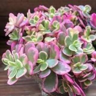 *斑入りポーチュラカ(^^)植物*(その他)
