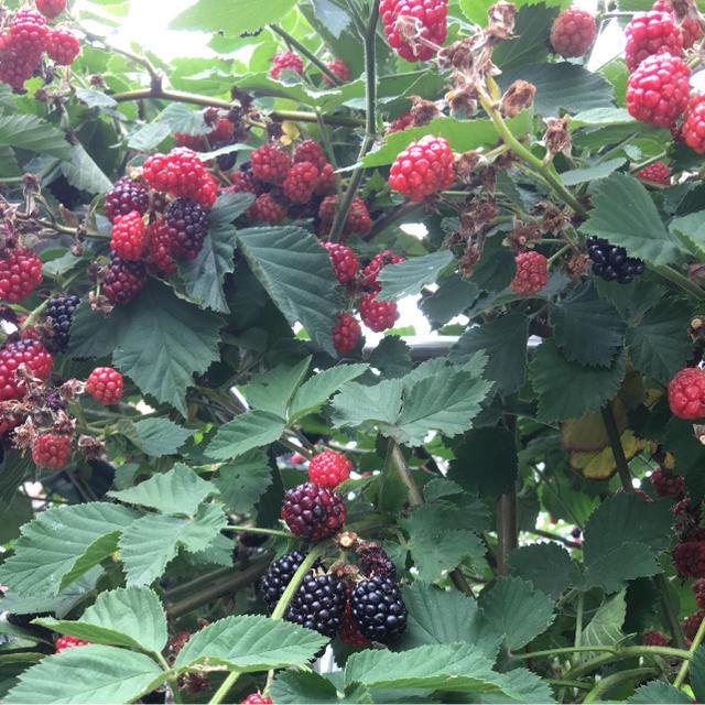 ブラックベリーの完熟種200個+気持ち!! 食品/飲料/酒の食品(フルーツ)の商品写真