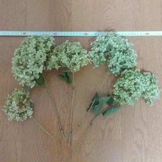 天然アジサイ ドライフラワー アナベル 黄緑  茎有5 紫陽花(ドライフラワー)