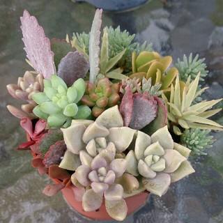 多肉植物 寄せ植え 鉢ごと
