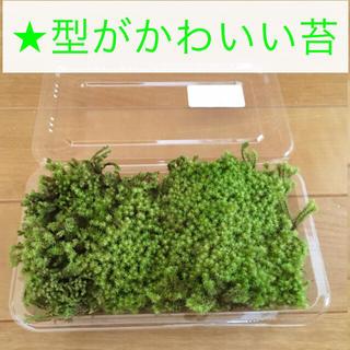 苔 初心者向け 陸上用 ★ ネジクチゴケ ★ コケテラリウム 苔庭 苔玉 盆栽