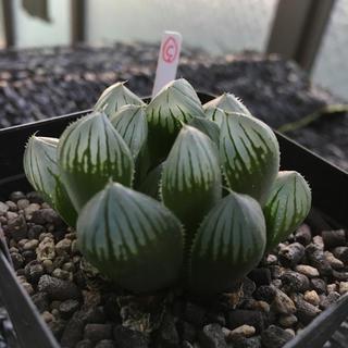 多肉植物 ハオルチア ブラック オブツーサ サボテン