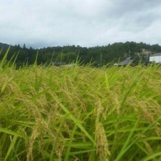 新米コシヒカリ5キロ(精米)(米/穀物)