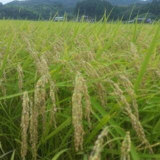 新米コシヒカリ こうちゃん米5キロ(精米)(米/穀物)