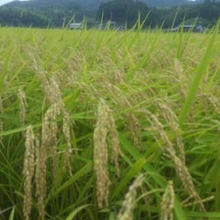 新米コシヒカリ こうちゃん米(玄米3キロ、精米3きろ)セット(米/穀物)