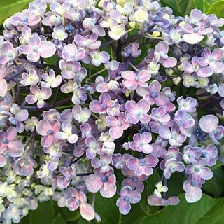 うず紫陽花  挿し木用  挿し穂  2本(その他)
