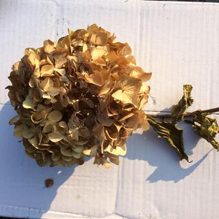 大輪 紫陽花ドライフラワー⭐️茎付き(ドライフラワー)