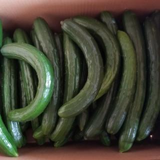 訳ありキュウリ(規格外5kg)(野菜)