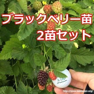 ■ブラックベリー苗 2苗 トゲ無しボイセンベリー健康フルーツ☆無農薬栽培♪(フルーツ)