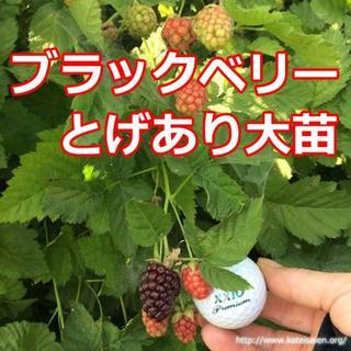 ■ブラックベリー大苗 トゲあり ポット苗 ボイセンベリー健康フルーツ農薬栽培♪(フルーツ)