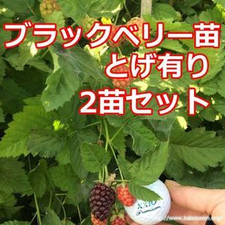 ■ブラックベリー苗トゲ有り2苗ボイセンベリー健康フルーツ無農薬栽培☆送料無料♪(フルーツ)