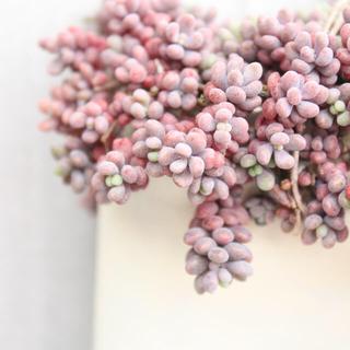 パープルヘイズ セダム属 6カット 多肉植物(その他)