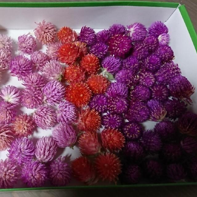 再再販♥️︎ドライフラワー♡千日紅 100個 詰め合わせ 花材 ハンドメイド ハンドメイドのフラワー/ガーデン(ドライフラワー)の商品写真