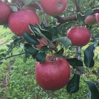 希少品ですが鮮度自慢!青森県産りんご 葉とらず幸寿 5キロ