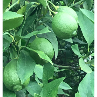 国産レモン コンパクト箱 約1.5キロ!(フルーツ)