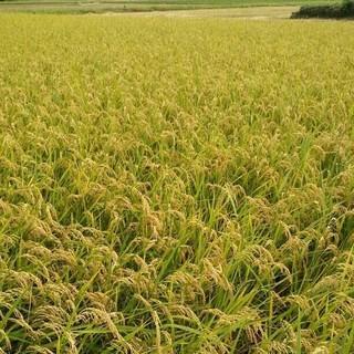 新米です!  玄米30㎏(米/穀物)