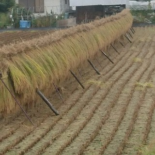 数量限定! 長野県産コシヒカリ はぜかけ米【天日干し】30㎏