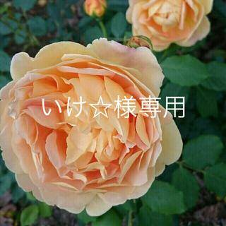薔薇苗 ゴールデンセレブレーション(ドライフラワー)