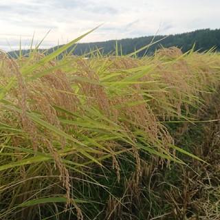新米✨新潟コシヒカリ玄米20kg (米/穀物)