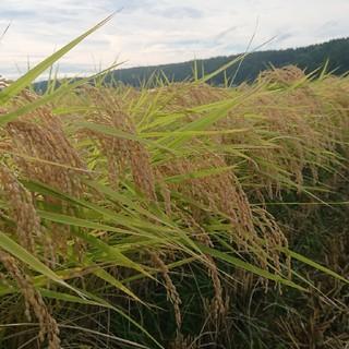 新米✨ 新潟コシヒカリ玄米20kg (米/穀物)