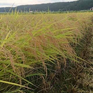 新米✨新潟コシヒカリ玄米30㌔(米/穀物)