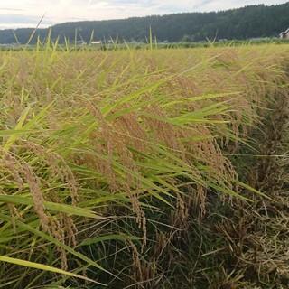 新米✨新潟コシヒカリ玄米20㌔(米/穀物)