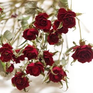 【ドライフラワー花材】スプレーバラ 赤色(各種パーツ)