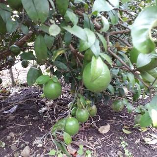 国産無農薬 グリーンレモン 2kg 送料無料(フルーツ)