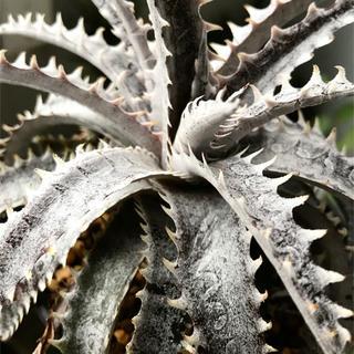 本日まで Black Ice  写真2〜4 多肉植物 ディッキア ブラックアイス(その他)