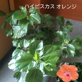 ハイビスカス 苗 オレンジ(その他)