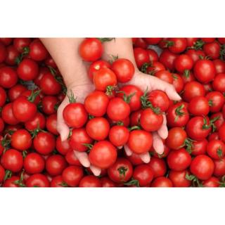 ミニトマトセット1.6kg(ミニトマももちゃん・カラフルトマト・アイコ各2袋)(野菜)