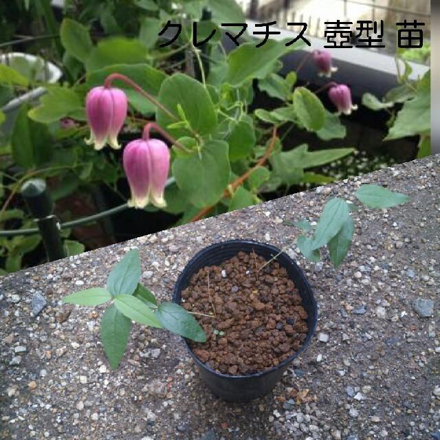 クレマチス 壺型 苗 這沢 ハンドメイドのフラワー/ガーデン(その他)の商品写真