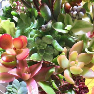 多肉植物カット苗25種❣️セール‼️ハロウィン2(その他)