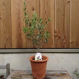 オリーブ鉢植えブラウン  品種エルグレコ(その他)