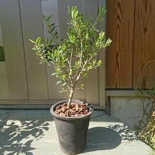 オリーブ鉢植えブラック  品種エルグレコ(その他)