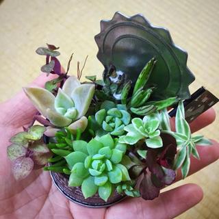 ハロウィン カラフル サボテン  多肉植物 寄せ植え (その他)