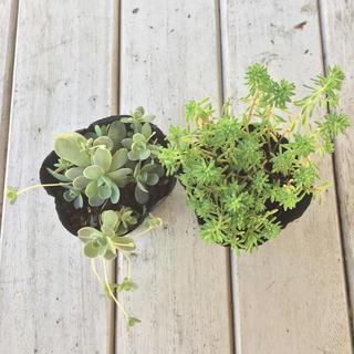 2種類セット 子持ち蓮華 と パリダム 多肉植物 苗(その他)
