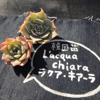 19.momo様専用  多肉植物(その他)