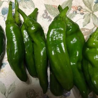 【完全無農薬・甘長唐辛子🌶】 【採りたて✨】5本❣️(野菜)