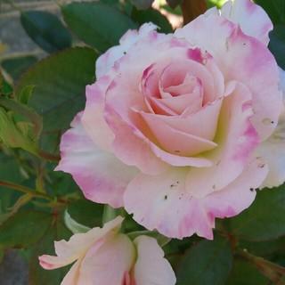 薔薇『マチルダ』挿し木苗(その他)