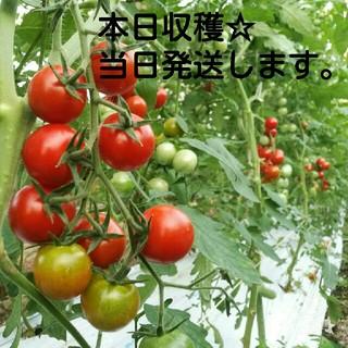 収穫当日発送☆熊本県産ミニトマト2㎏(箱の重さ込)