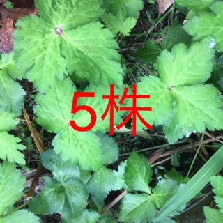 三つ葉 5株(野菜)