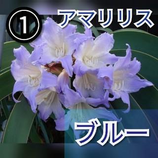【アマリリス①】ブルーアマリリス 種子10粒  (ドライフラワー)