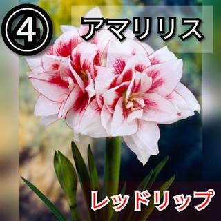 【アマリリス④】レッドリップ 種子10粒(その他)