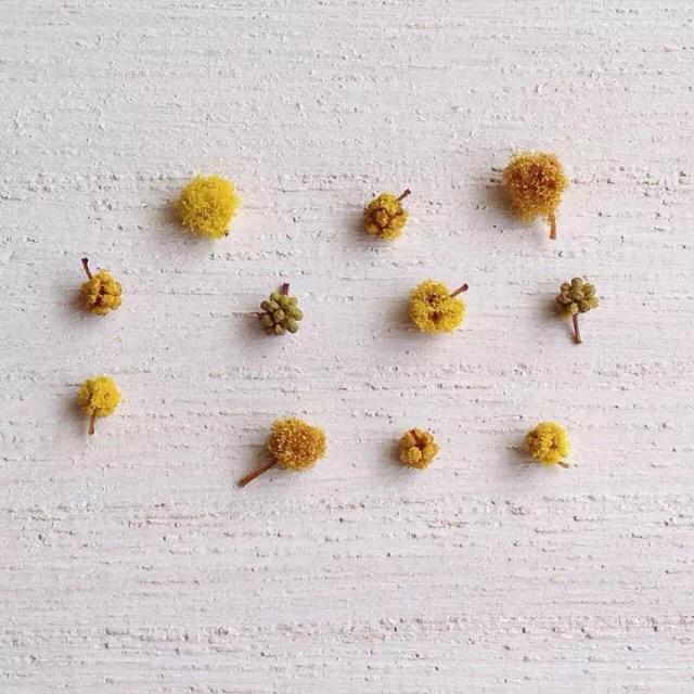 ドライフラワー ミモザ 100個 ハンドメイドのフラワー/ガーデン(ドライフラワー)の商品写真